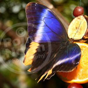 Point North Photography-BUTTERFLY