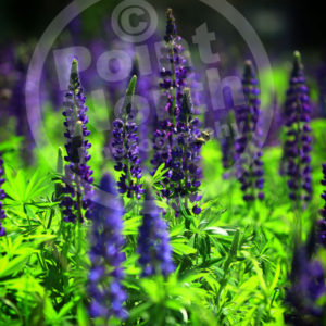 Point North Photography-Lupins with Bees